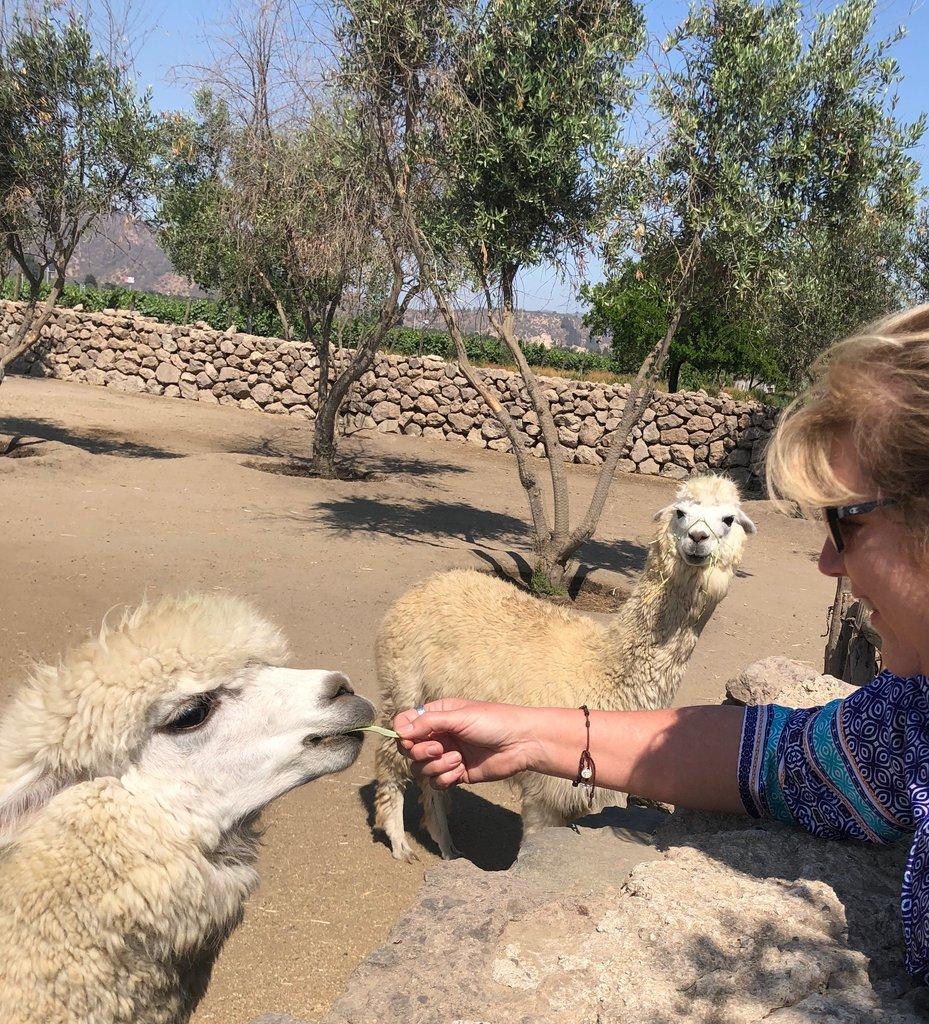 Feeding the Alpaca at Emiliana | Photo taken by Melody B