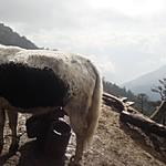 Milking a Yak   Photo taken by Karon C