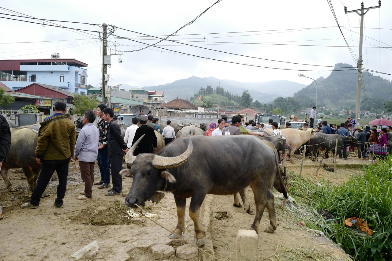 Buffaloes for sale! Only 2,000USD each!   Photo taken by Su-Lin T