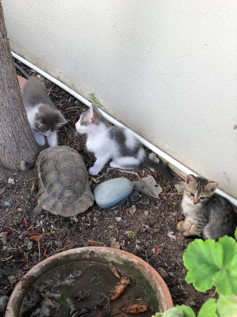 The kittens and the turtle  | Photo taken by Rebecca R