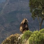 Male Gelada | Photo taken by Janet S
