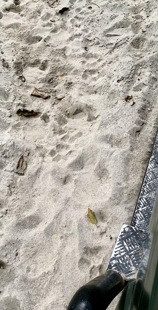 tiger tracks   Photo taken by Caroline R