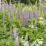 Gorgeous Lupines! | Photo taken by Alena H