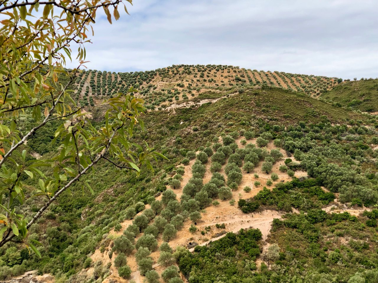 Incredible views ... olive trees, olive trees, and more olive trees | Photo taken by Rebecca R