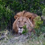 Late evening Lion Amakhala | Photo taken by Nick F