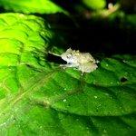 Glass Frog | Photo taken by Rachel H