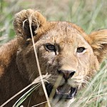 Female lions do all the hunting | Photo taken by Jonathan G