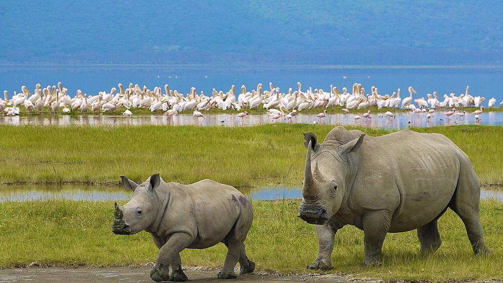 White Rhinos in Lake Nakuru