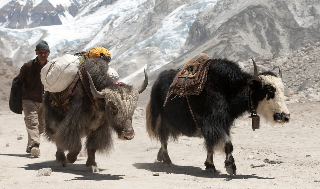A couple of yaks near Gorak Shep