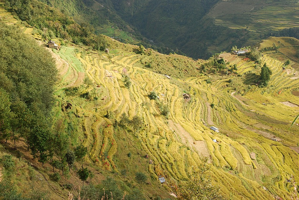 Rice terraces near the village of Pauduwar