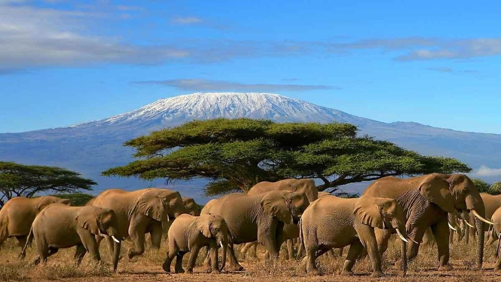 Elephants in Amboseli at the bottom of Mt. Kilimanjaro