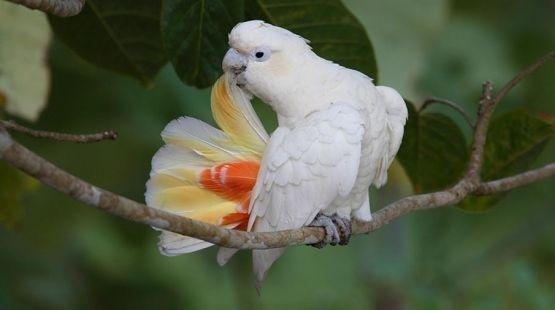 Philippine cocka busy preening its feathers