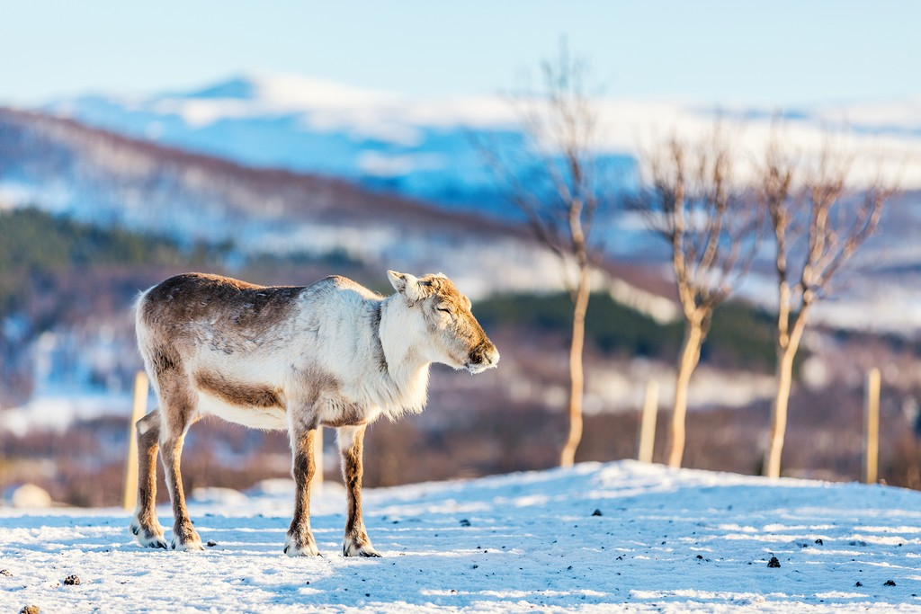 A reindeer in Norway's wilderness