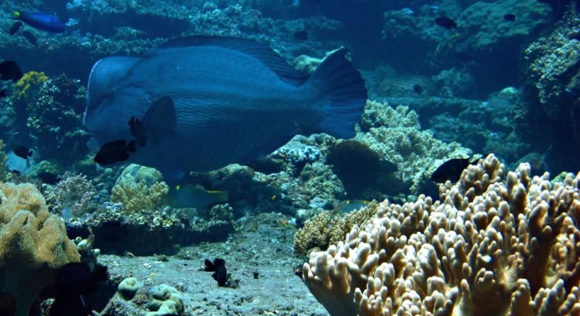 A humphead parrotfish off the coast of Apo Island