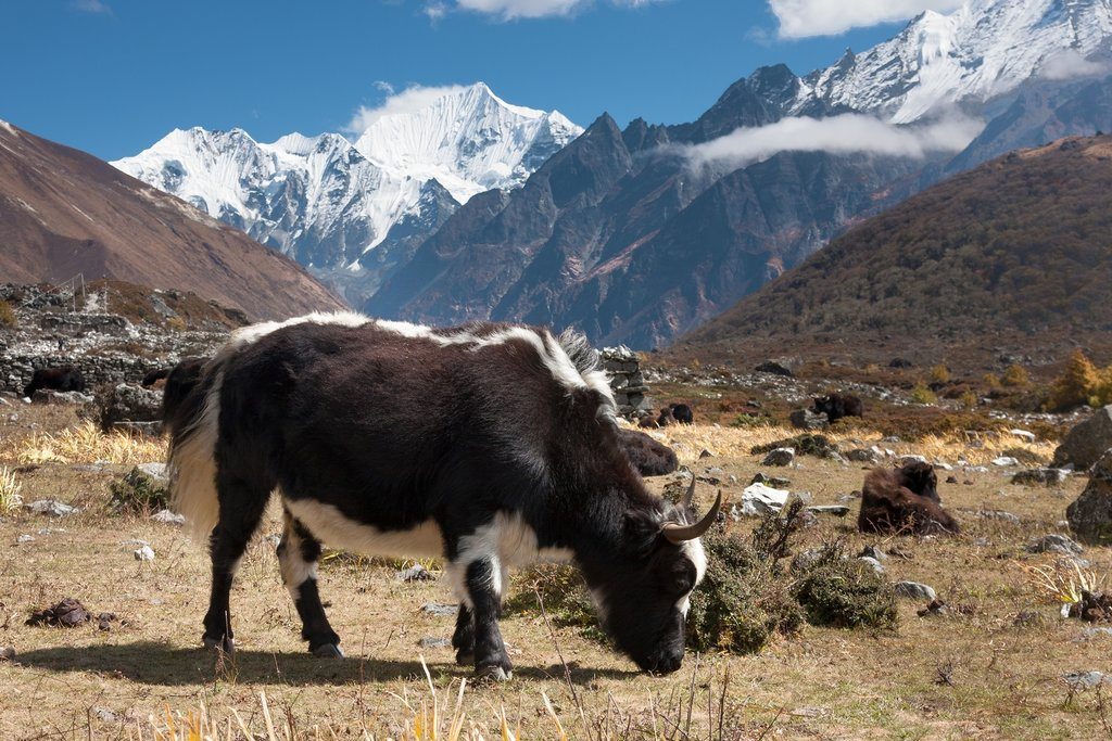 A yak hangs out in Langtang Valley