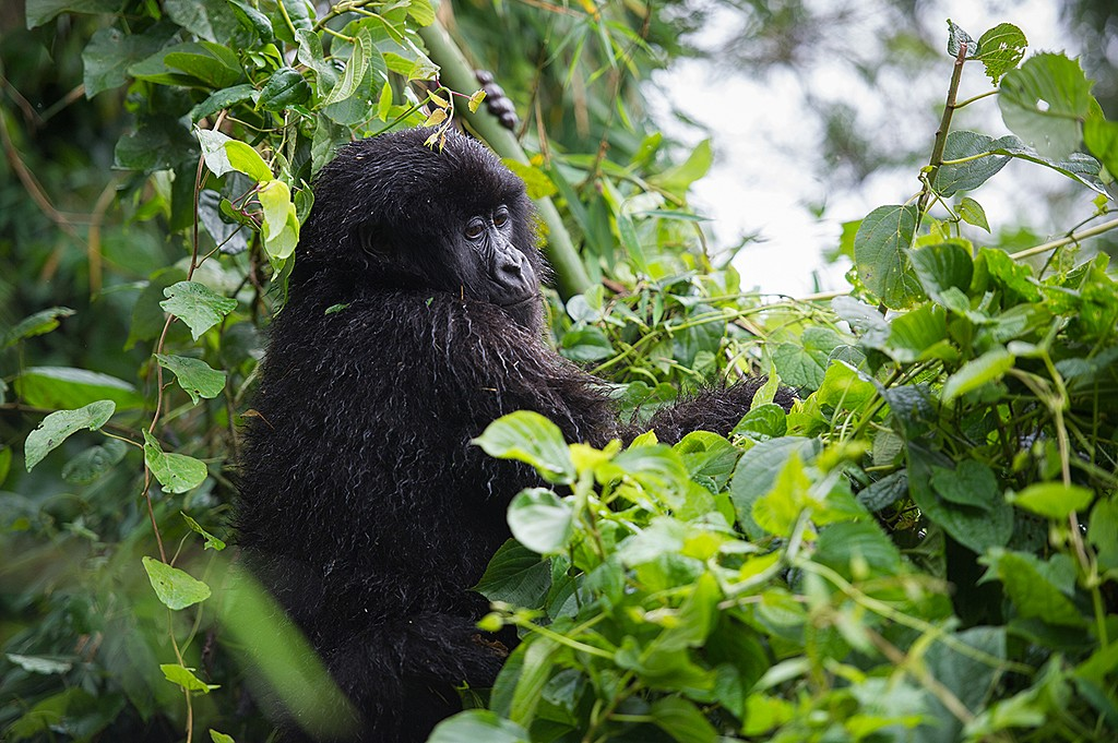 A young gorilla in Volcanoes National Park