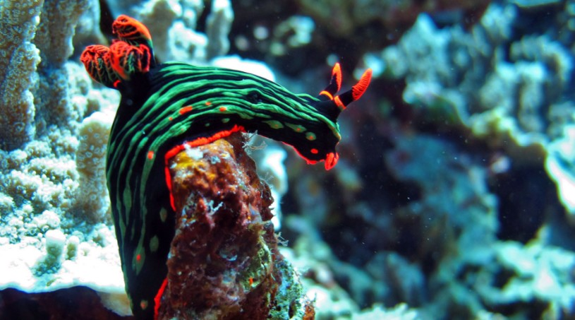 A colorful nudibranch