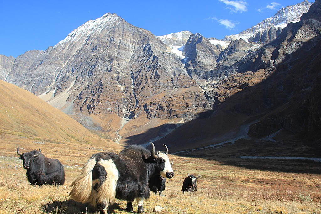 Yaks around Mount Kailash Kora