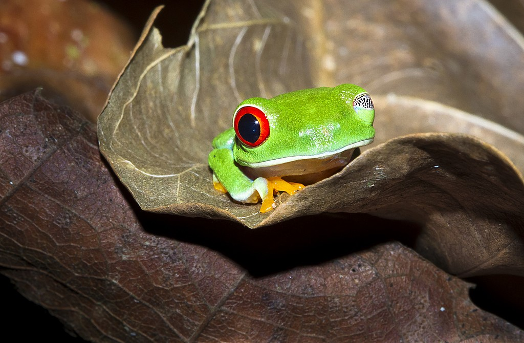 The red-eyed tree frog sleeps with the proverbial one eye open in Tortuguera National Park