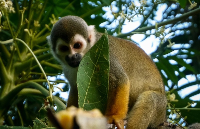 A squirrel monkey in the Amazon