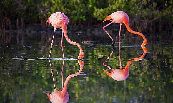 Flamingo in the wetlands of Isabela Island