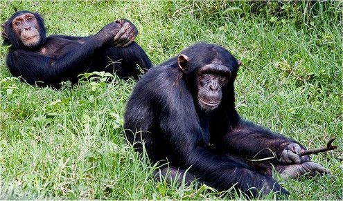Chimpanzees in Olpajeta Conservancy