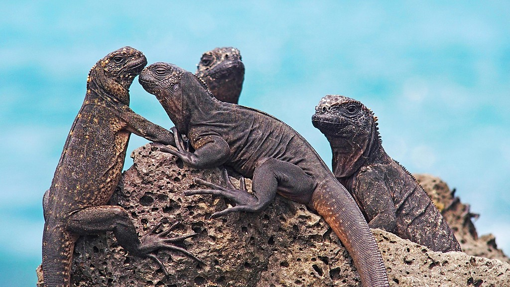 Marine iguanas sunbathing on the shore