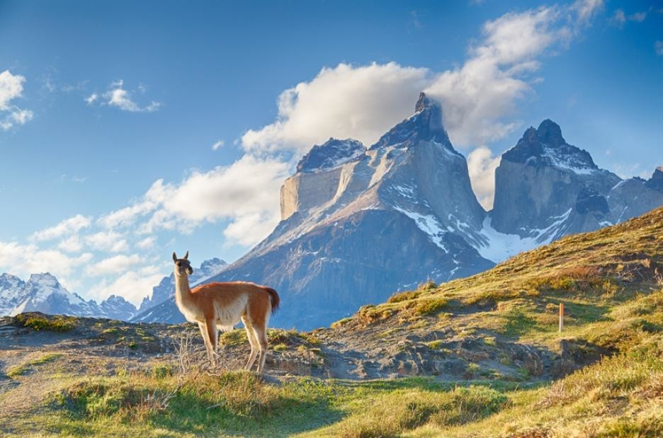 A guanaco considers Torres del Paine