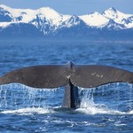 Winter whale watching in Norway