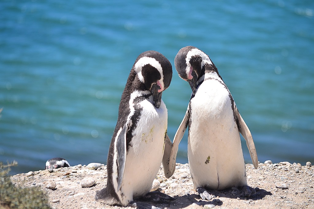 Magellanic penguins sharing a moment