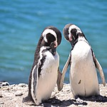 Magellanic penguins sharing a moment