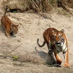 Keep an eye out for Bengal tigers