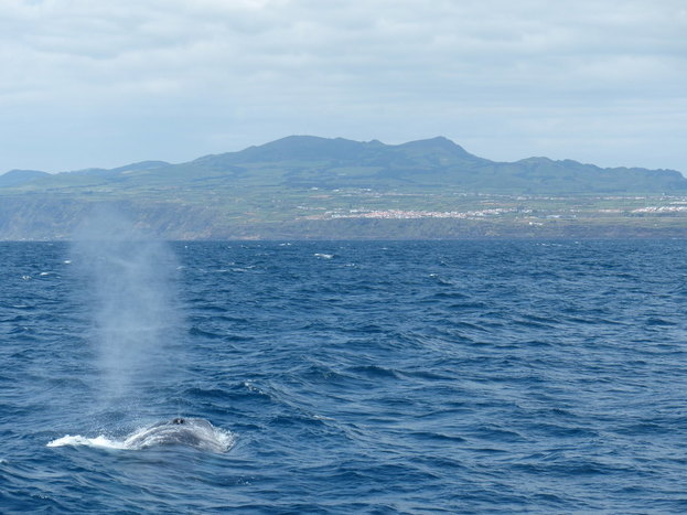 Whale Watching in Pico and free time.