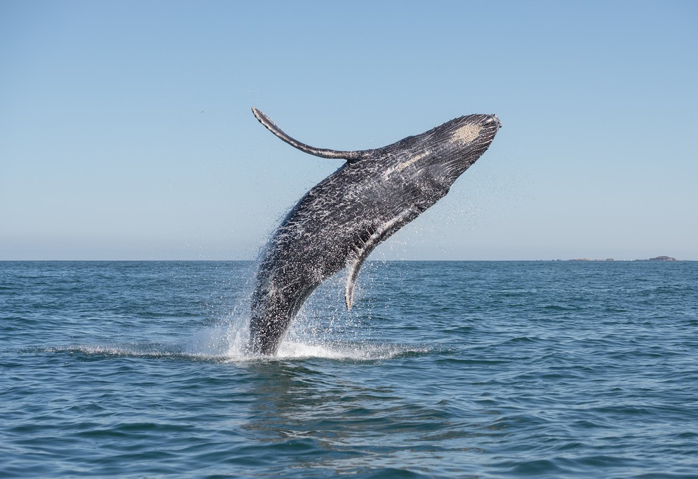Whale watching is a popular activity in the Pacific Coast
