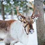 Spend a day with local reindeer in a Sami village