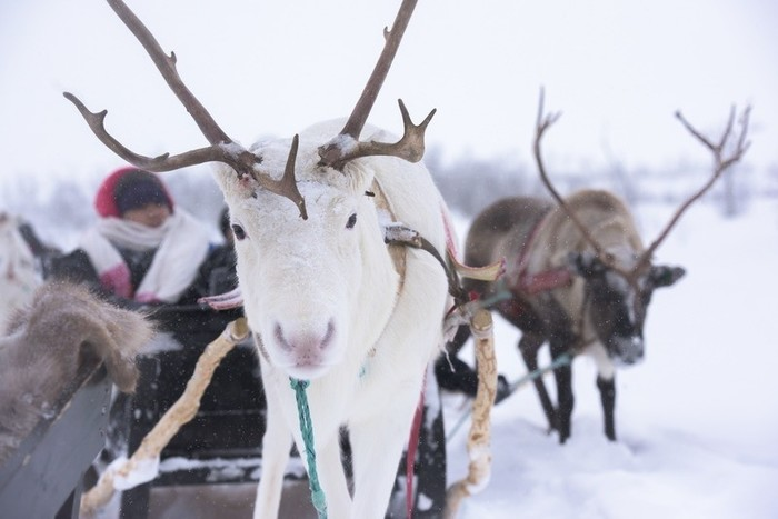 Experience the Sami Culture | Overnight in lavvoo