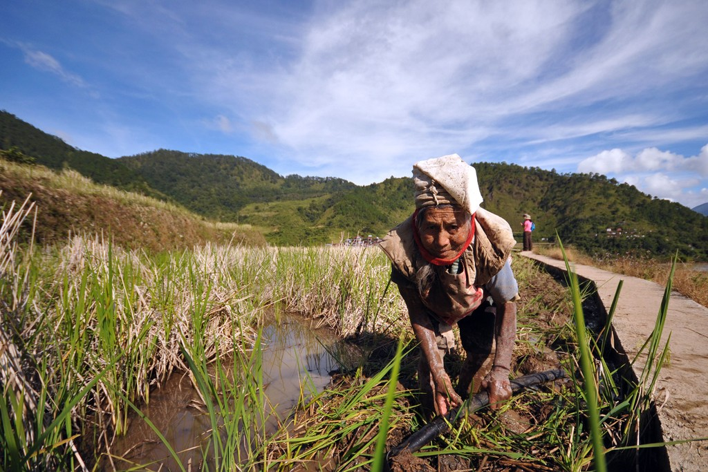 A woman works the rice fields