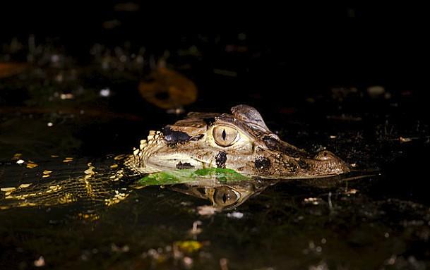 Small Amazonian crocodile