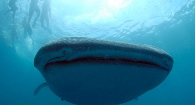 A whale shark up-close