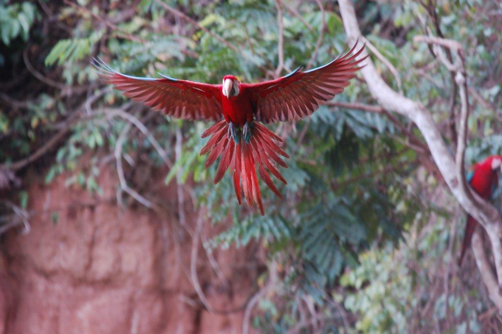 A parrot in flight