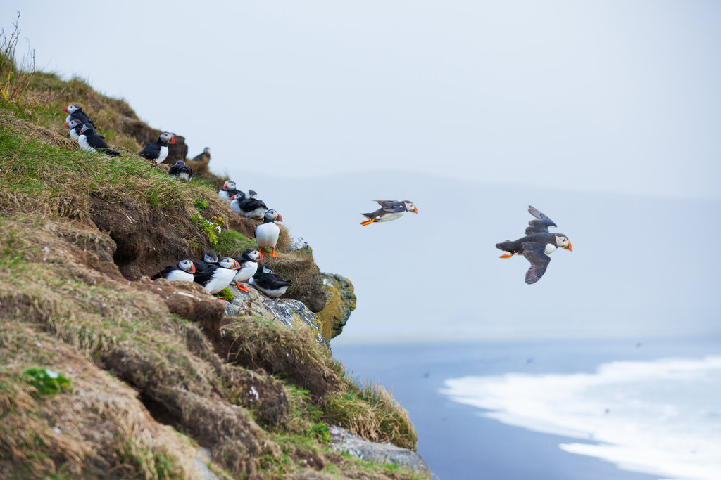 Puffins on cliffs